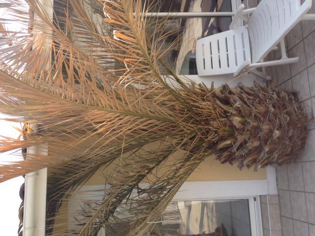 le forum des fous de palmiers tout nouveau dans le monde du palmier entretien. Black Bedroom Furniture Sets. Home Design Ideas